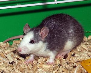 16-12-13-rat-1.jpg