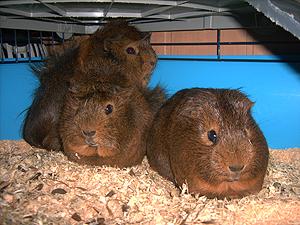 4-cochons-d-inde-07-10-13.jpg