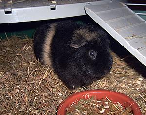 cochon-d-inde-femelle-07-10-13.jpg